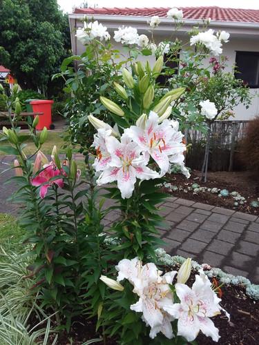 Oriental Lillies in full Bloom