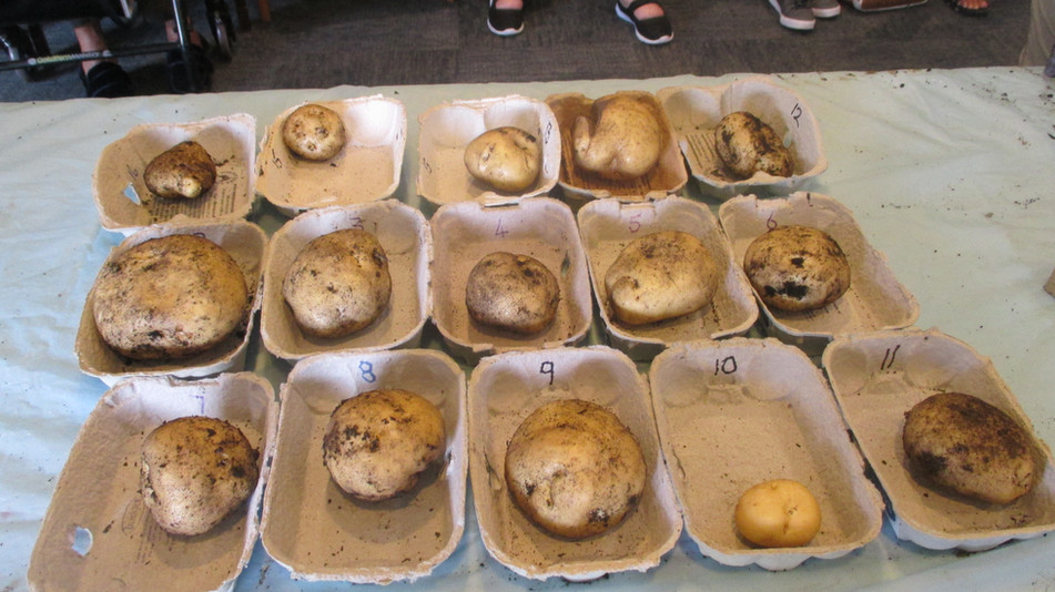 Potato Competition entries