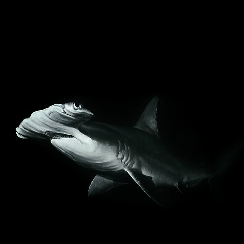 'Ocean Master' - 2021 - (Fine Art Print)