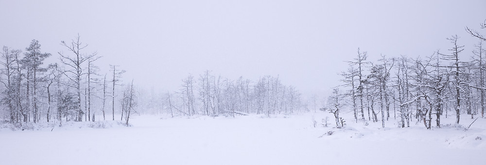 Dead trees in a swamp during a heavy blizzard