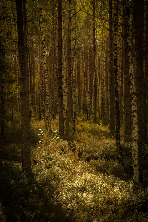 LATVIAN FOREST NO.1