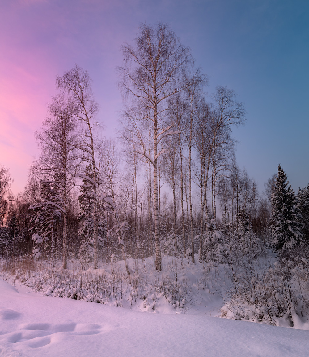 Panoramic photo of a forest in pink sunset light