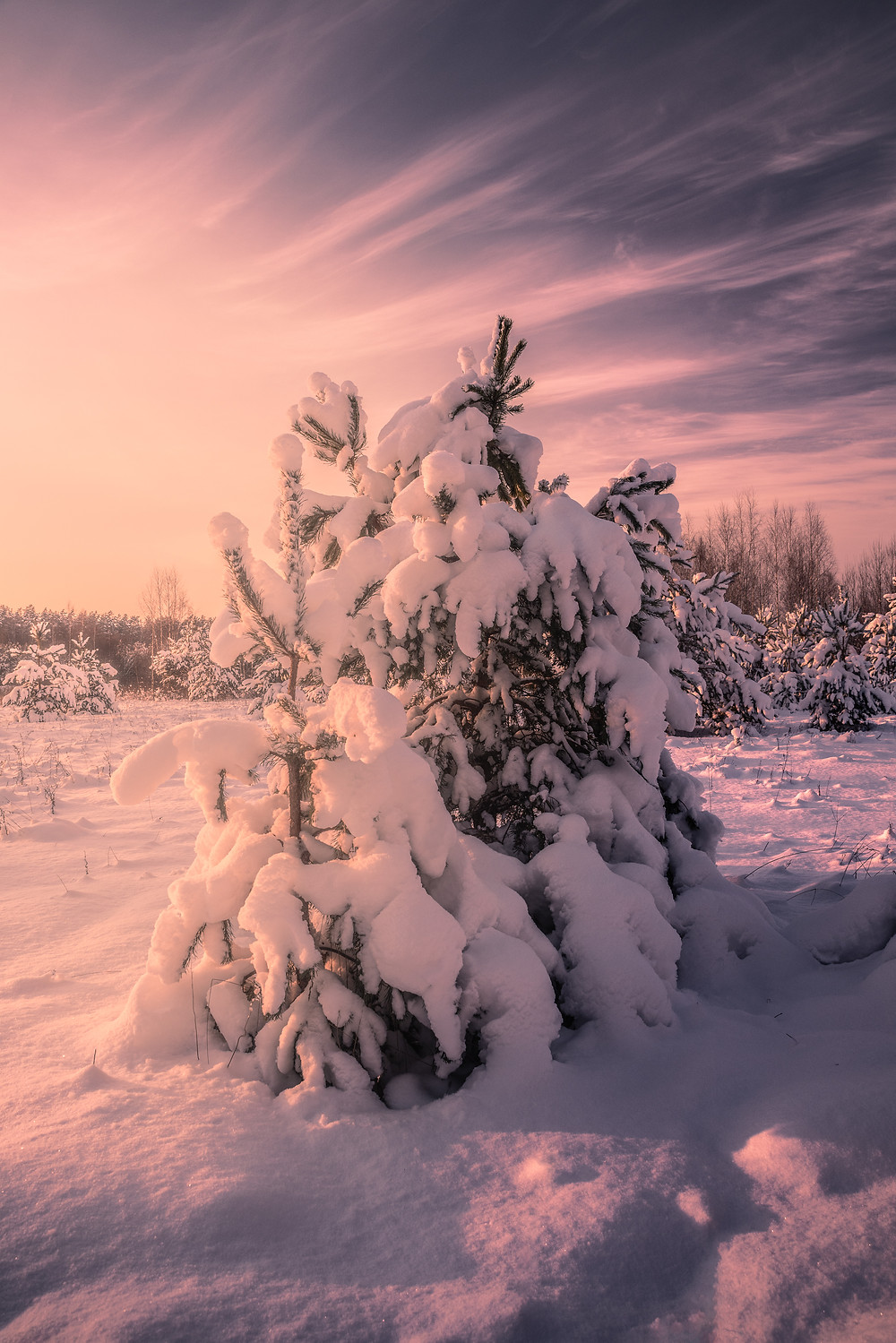Snow covered pine trees in gorgeous Baltic winter sunset light