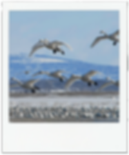 SnowGeese.png