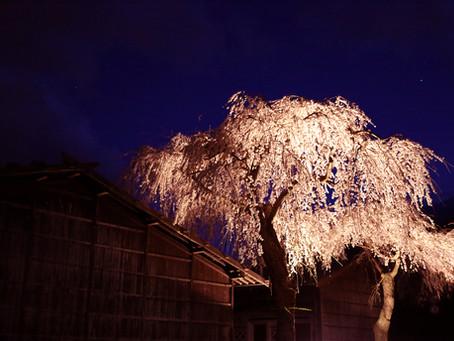 宮田宿本陣のしだれ桜