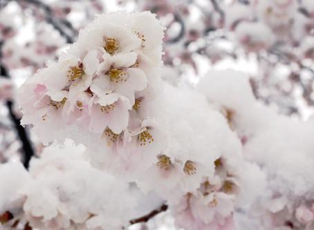 桜の雪化粧