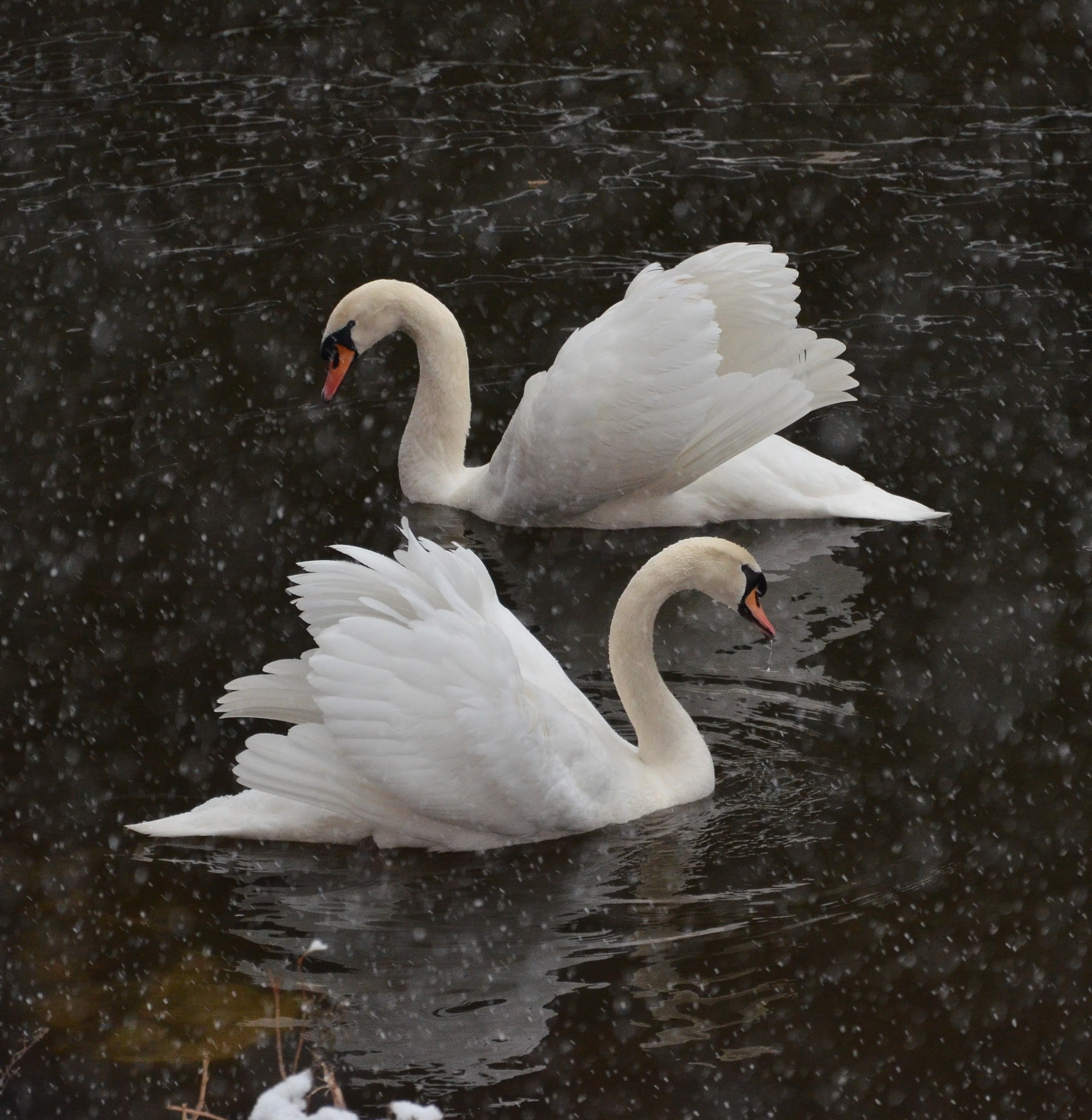 Vltava river, Swans