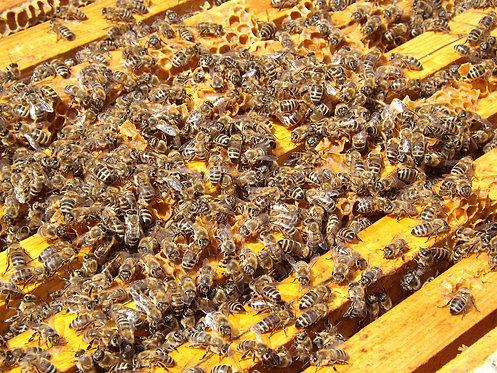 """Patenschaft """"Aarauer Bienenvolk"""""""