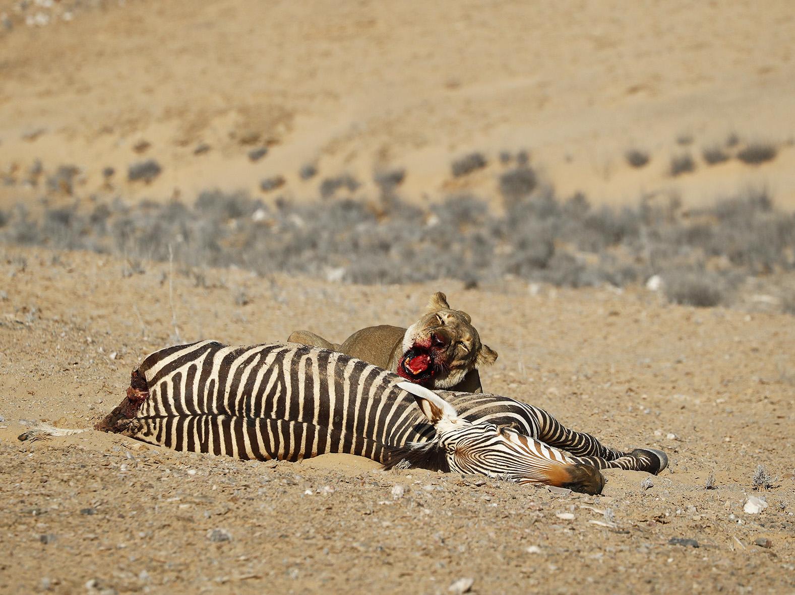 NAMIBIE - Lions du Désert