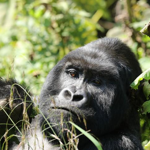 Gorilles - CONGO BRAZZAVILLE