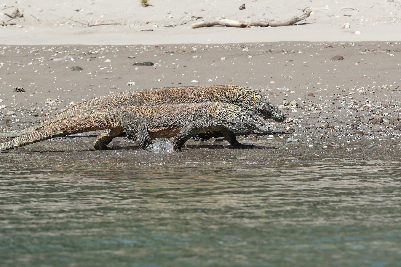 INDONESIE - Dragons de Komodo