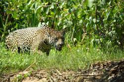 BRESIL, Jaguar