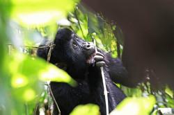 OUGANDA/RWADA Gorilles
