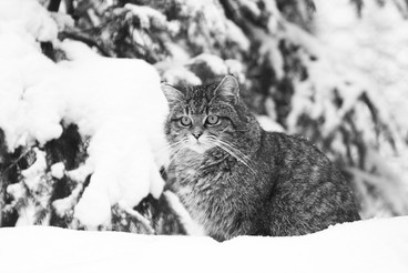 Chat sauvage - Allemagne