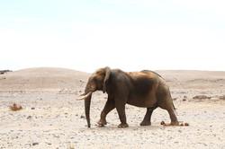 NAMIBIE, Eléphant du Désert