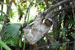 COSTA RICA - Paresseux