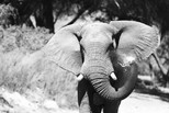 Eléphant du désert - Namidie