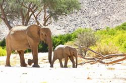 NAMIBIE, Eléphants du Désert