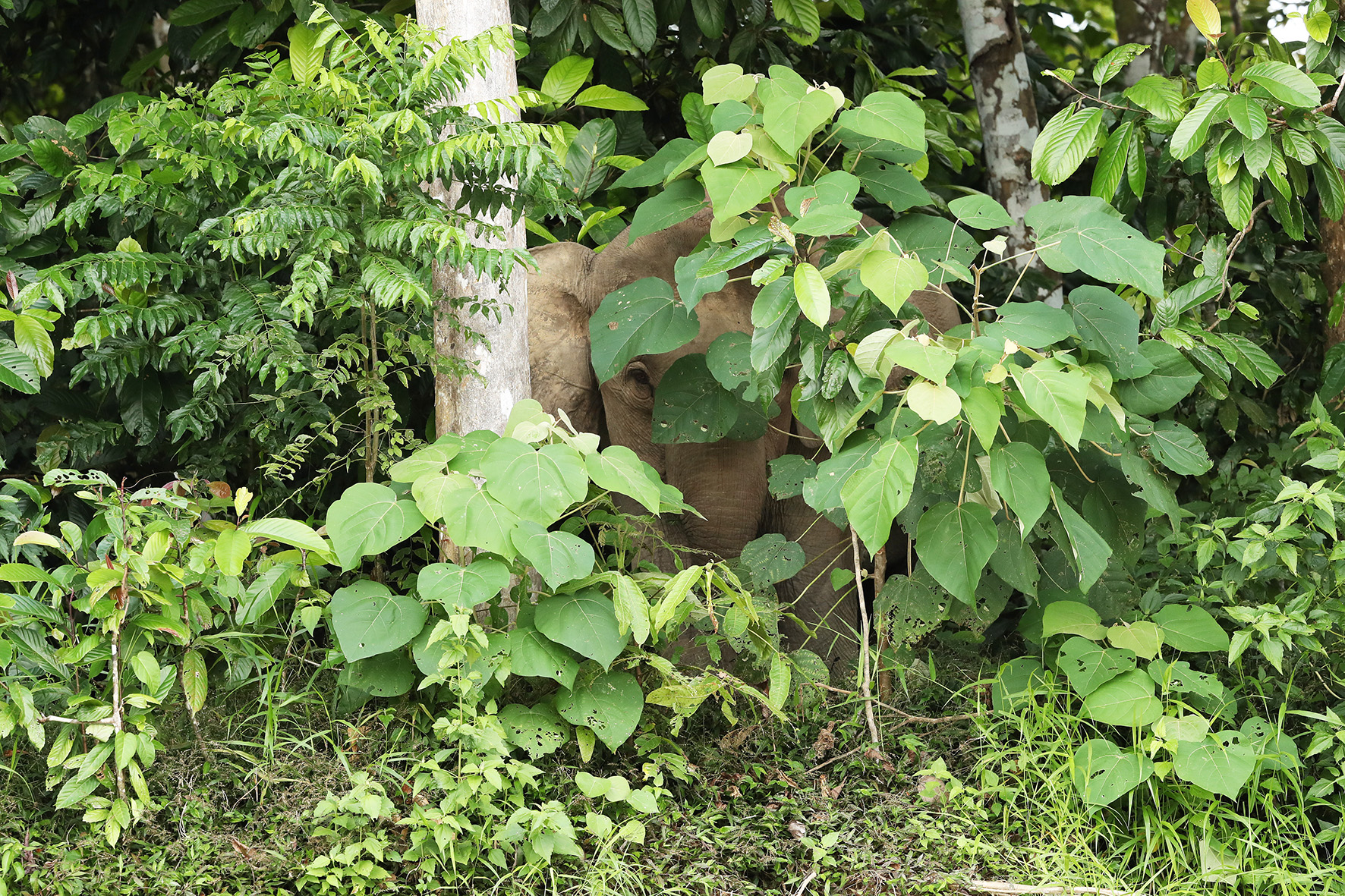 BORNEO - Pygmy Elephant