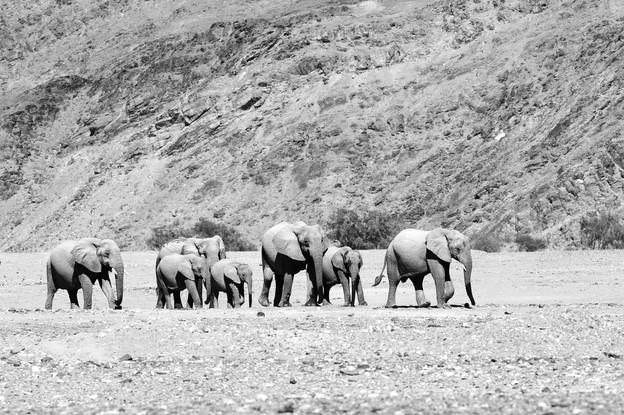Eléphants du désert - Namibie