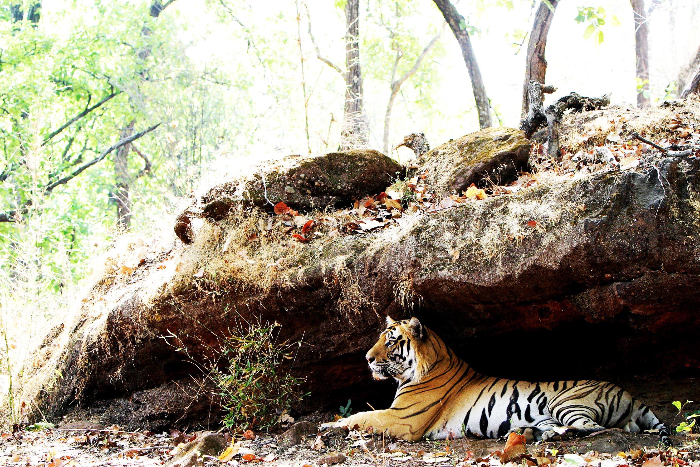 INDE, Tigre du Bengale