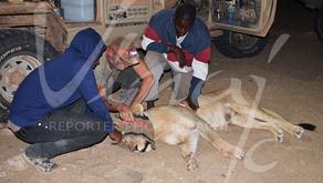 Le lion du désert en Namibie : premier soutien effectif !