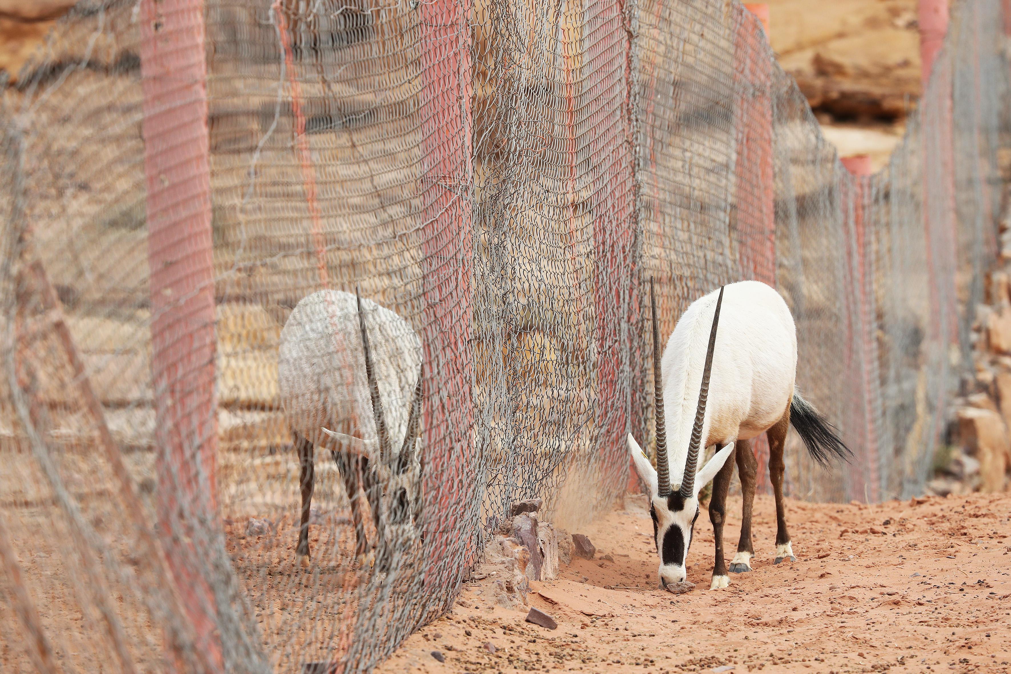 JORDANIE - Oryx des Sables