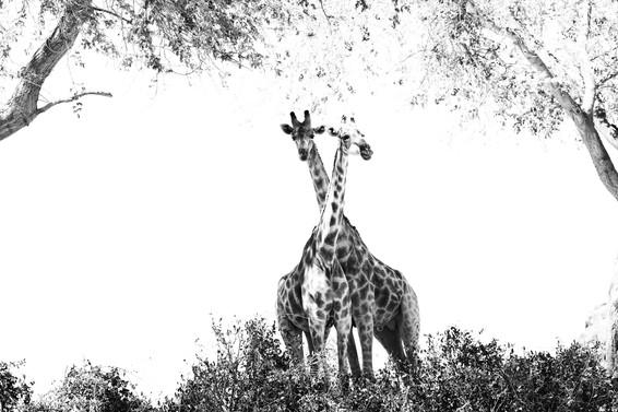 Girafe du désert - Namibie