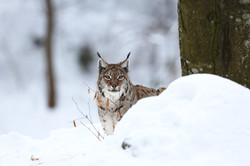 ALLEMAGNE, Lynx