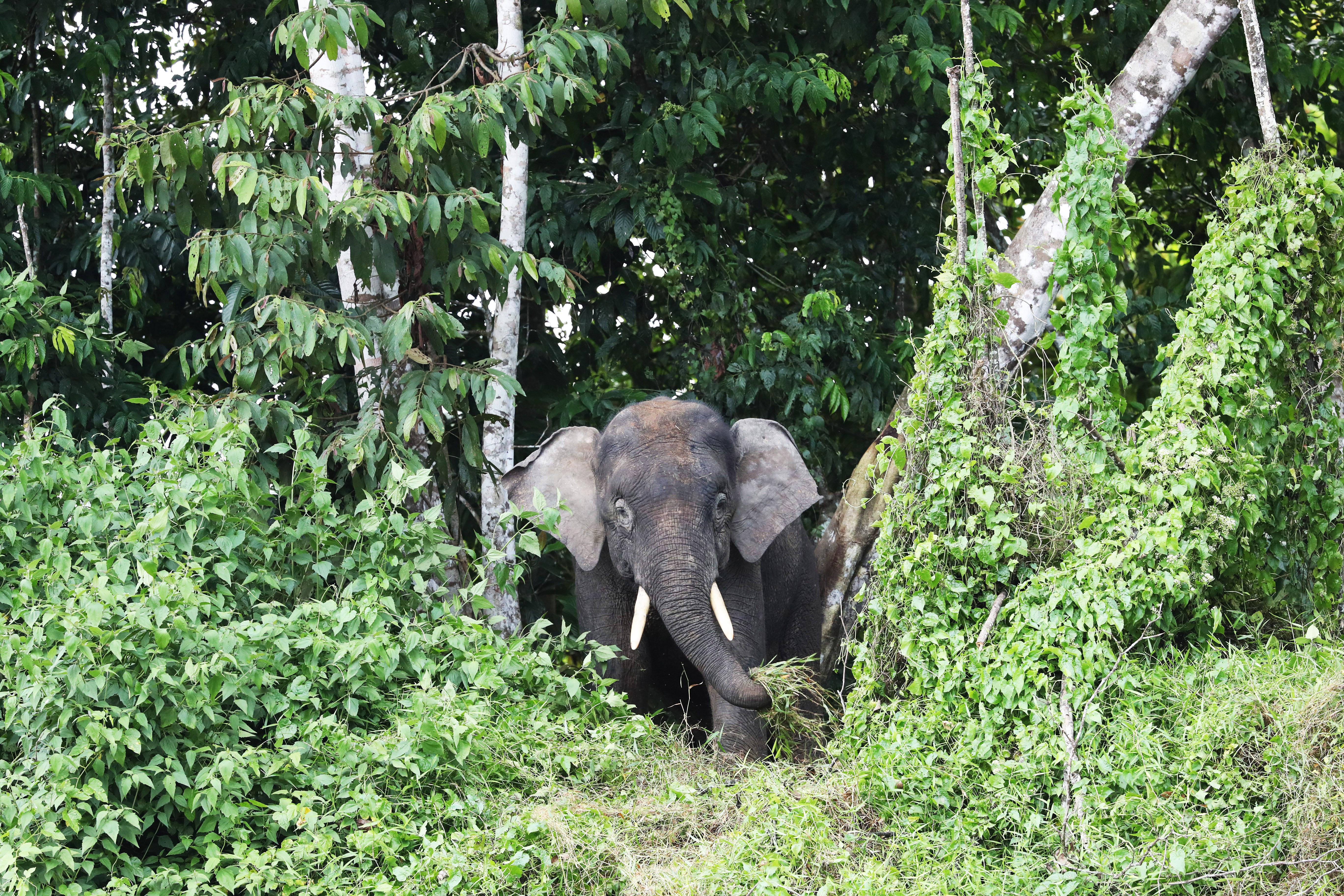 BORNEO - Pygmée Elephant