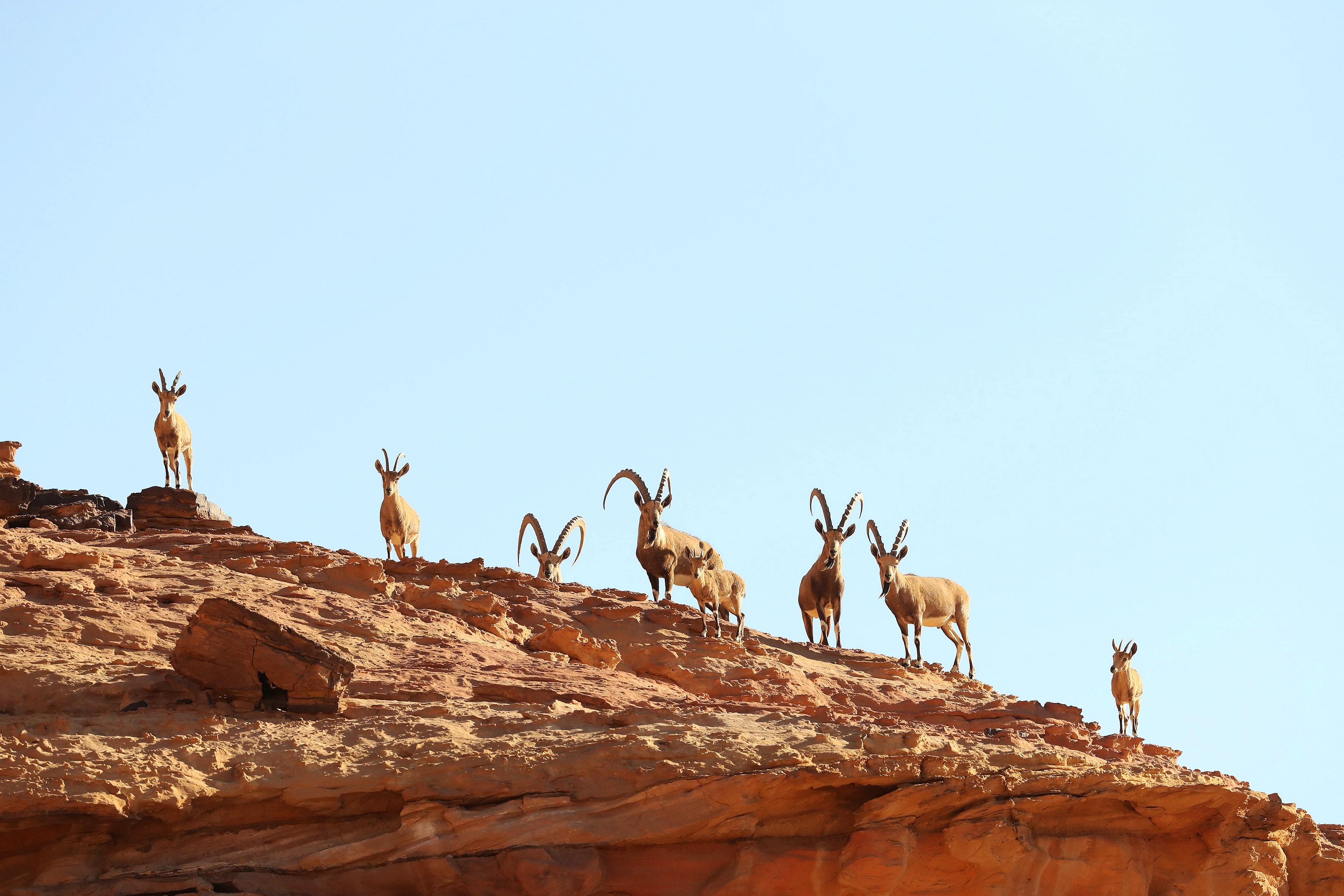JORDANIE - Ibex de Nubie