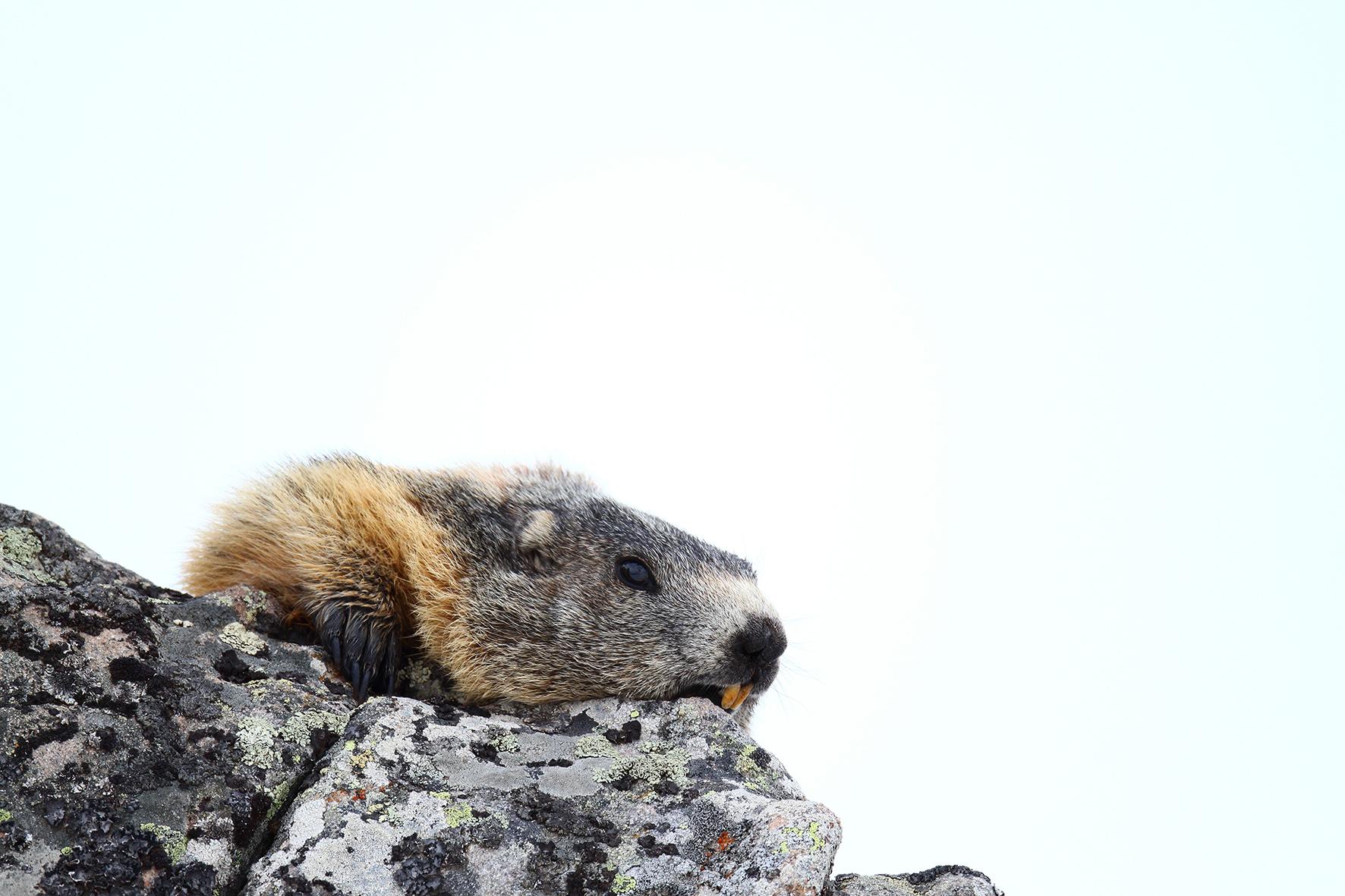 FRANCE, Marmotte