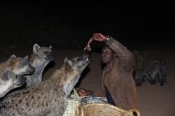 ETHIOPIE,Hyènes de Harar