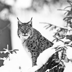 Lynx boréal - Allemagne