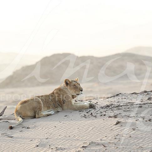 Lion du désert - Namibie