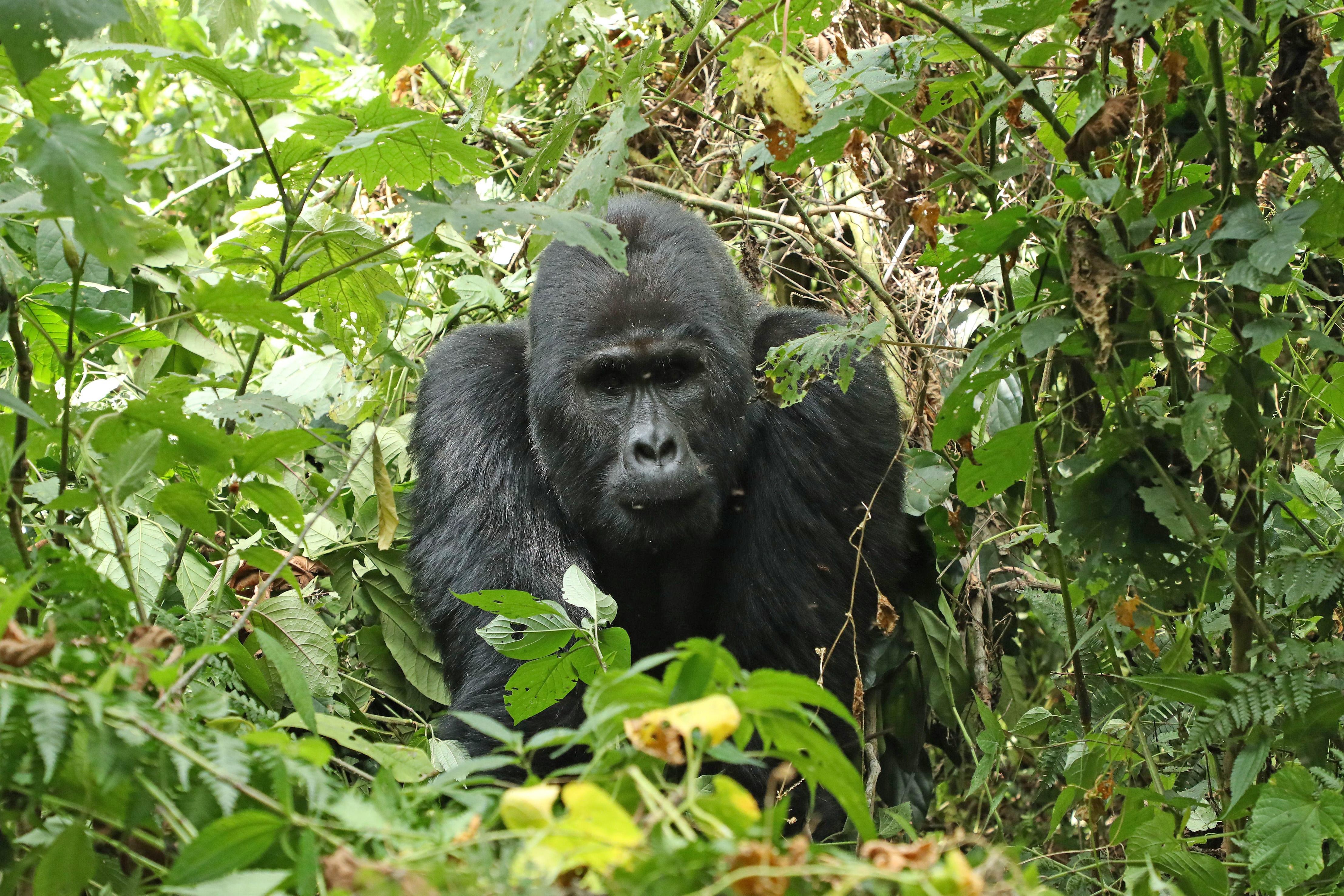 OUGANDA/RWANDA  Gorilles de Montagne