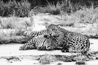 Jaguar - Brésil