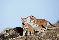 ETHIOPIE, Loup d'Abyssinie