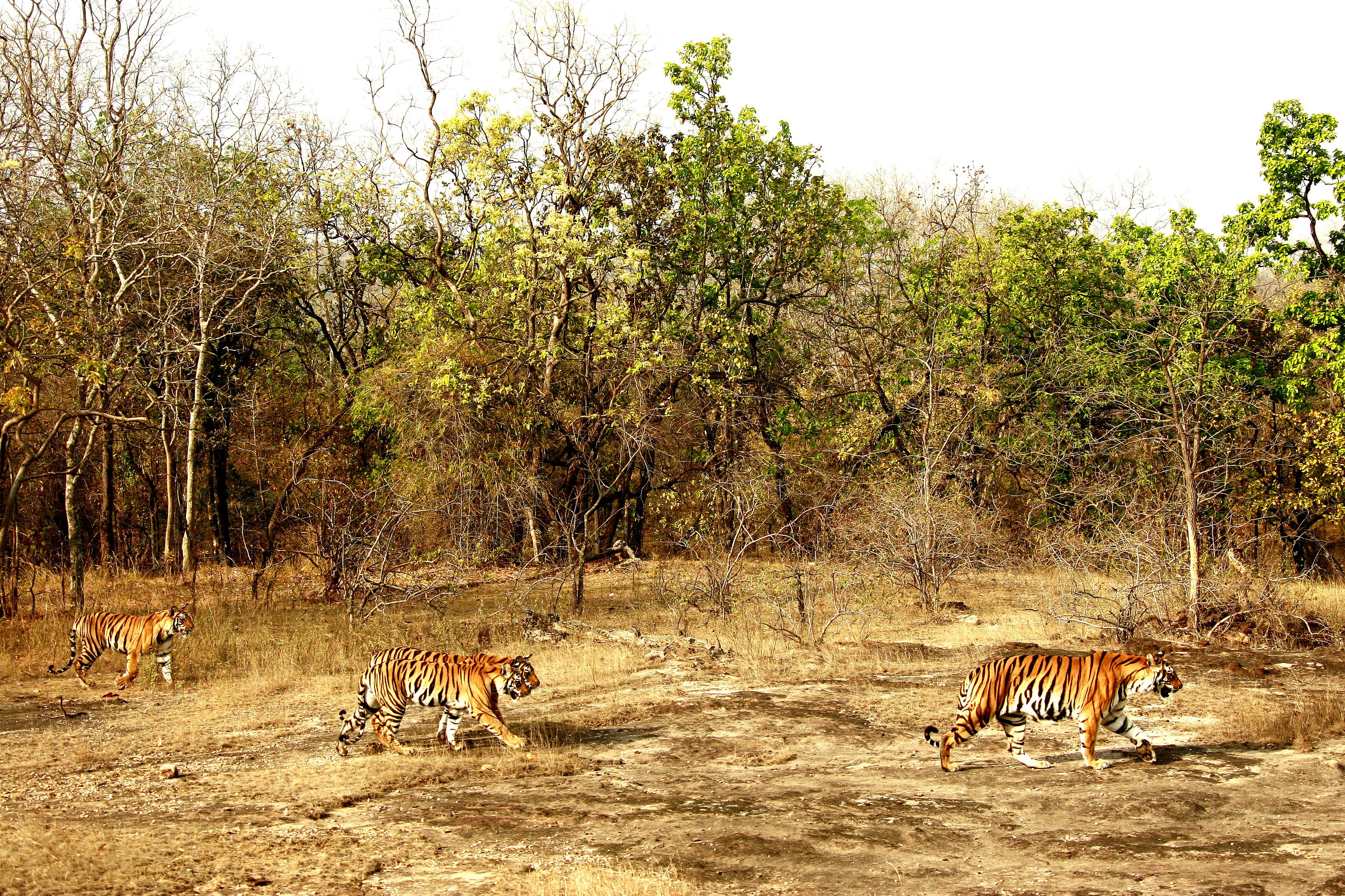 INDE, Tigres du Bengale