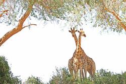 NAMIBIE, Girafes du Désert