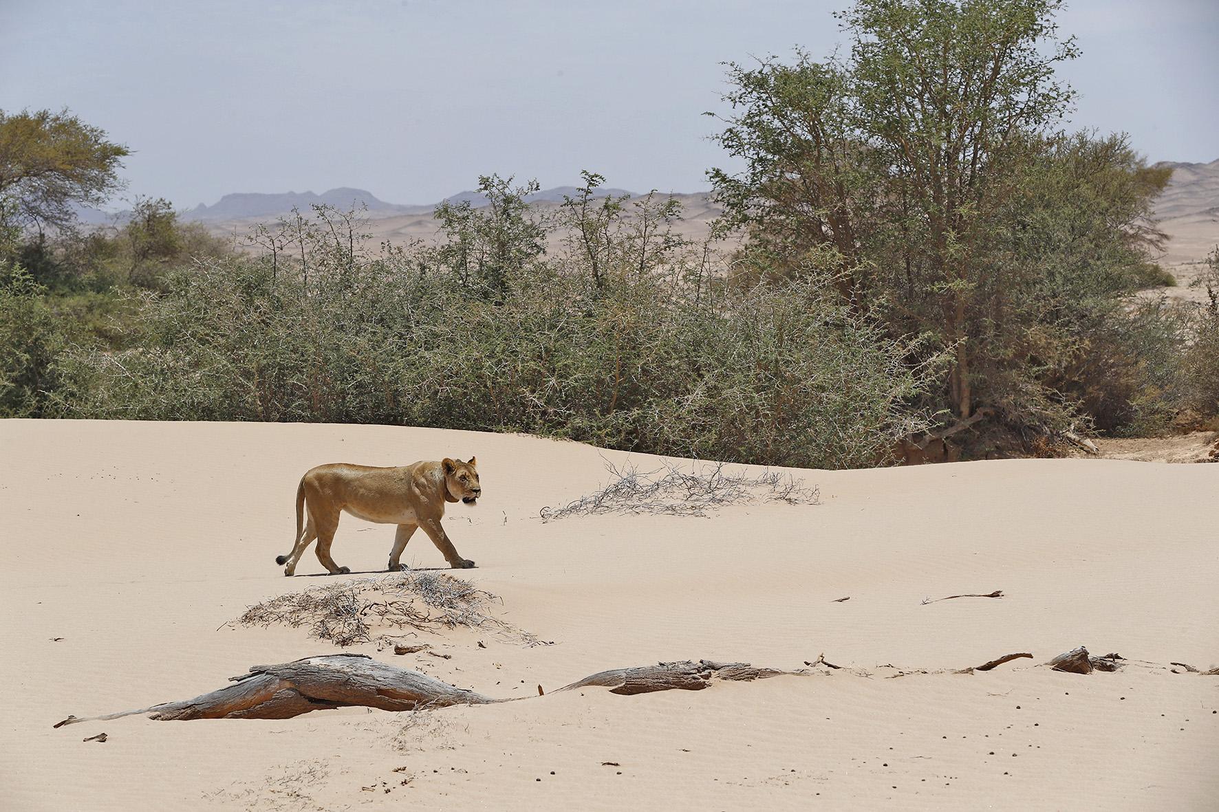 Namibie, Lions du Désert