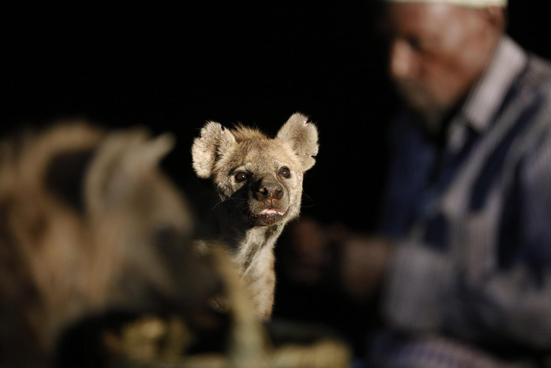 ETHIOPIE, Hyènes de Harar