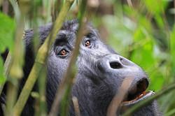 OUGANDA/RWANDA Gorilles