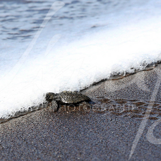 A baby turtle will discover the ocean for the first time ... but many predators are waiting for them. About 1 in 2,000 turtles will become adults