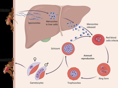 The Peculiar Evolution of Malaria Parasites