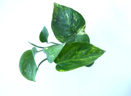 Plant Journal: Golden Pothos/ Devil's Ivy