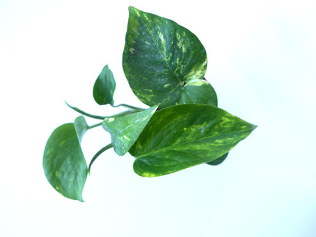 Plant Journal: Golden Pothos/ Devil's Ivy
