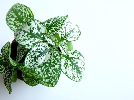 Plant Journal: Polka dot Plant