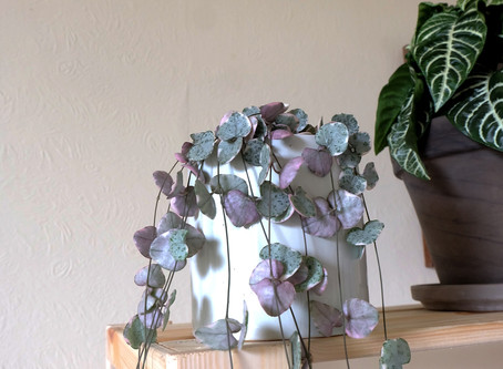 Plant Journal: Variegated String of Hearts