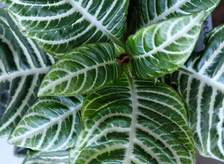 Plant Journal: Zebra Plant